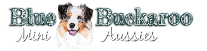Blue Buckaroo Aussies - Miniature Australian Shepherd Puppies.  Our mini aussie puppies are of Superior Quality and have exceptional Temperaments and health. Located in TN.