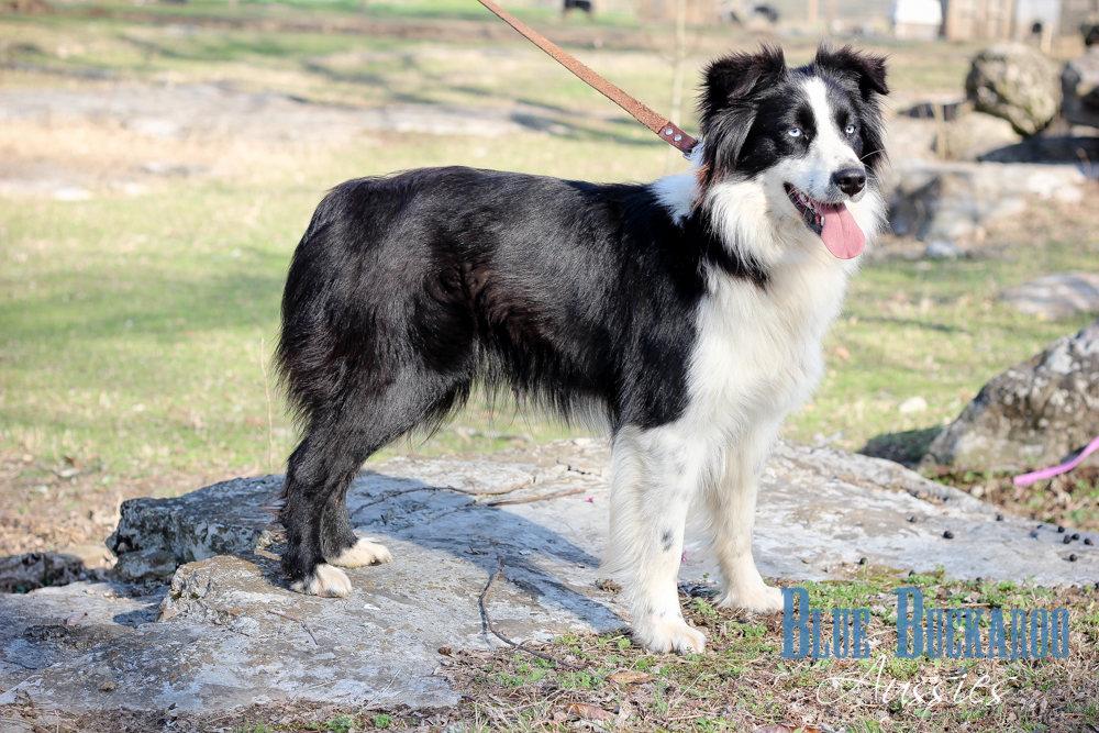 Double Blue Eyed Black Bi Australian Shepherd